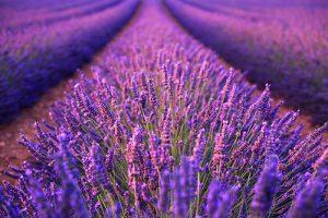 Purple lavender field