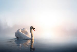 White swan in foggy lake