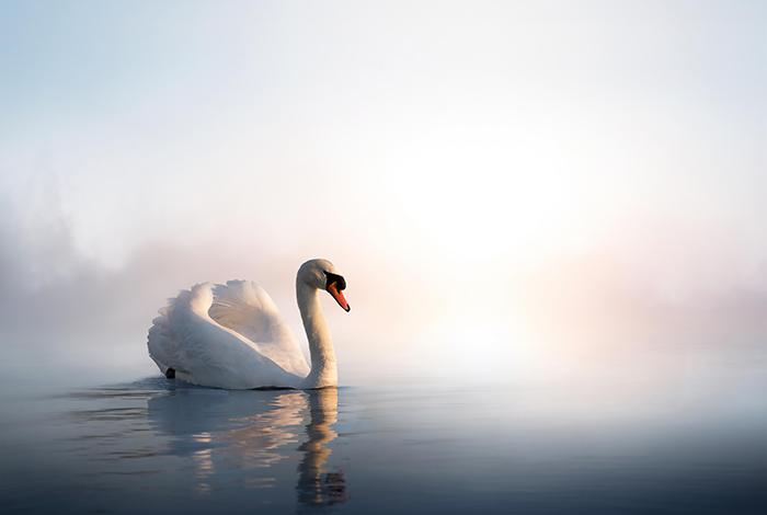 White swan in foggy lake