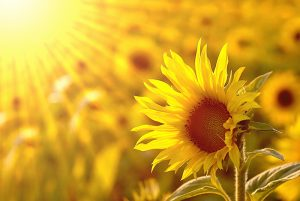 Yellow means life, sunflowers