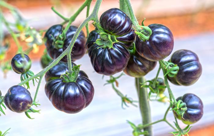 Indigo tomatoes