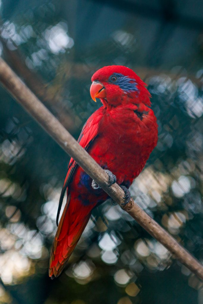 Parrot red lory