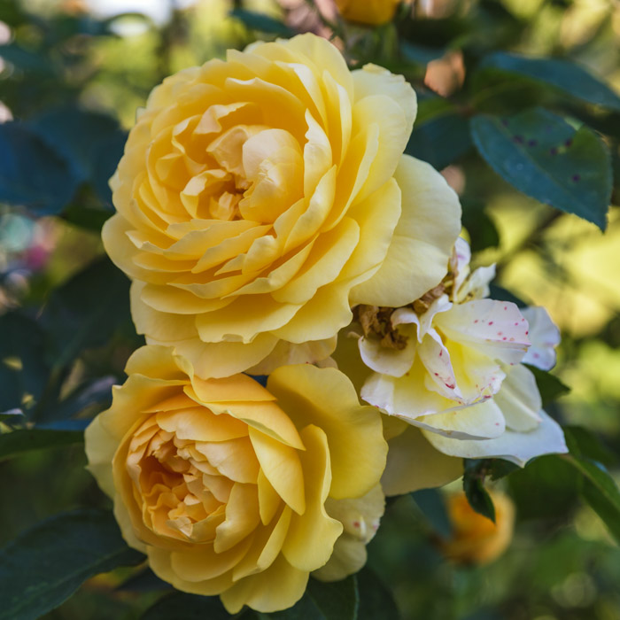 Meaning of the yellow rose