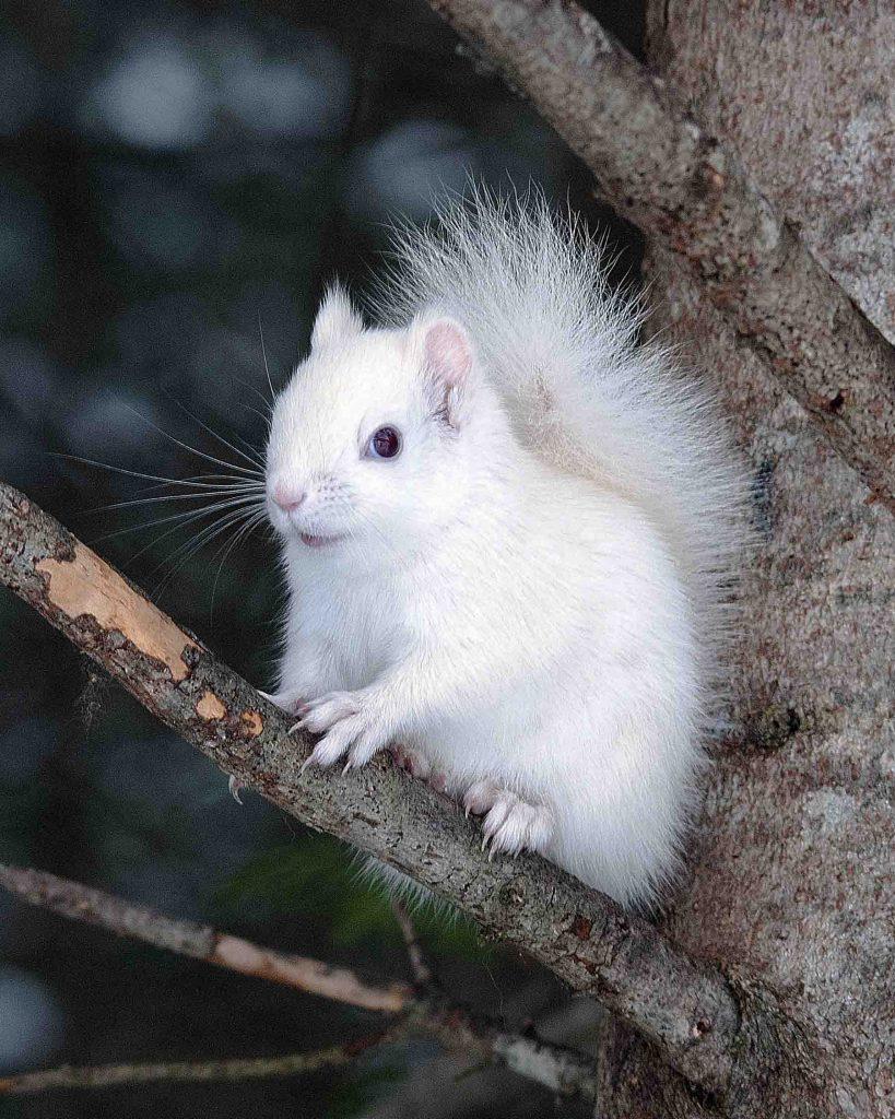 White Albino Squirrel