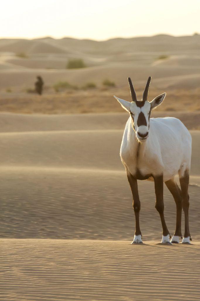 White Arabian oryx
