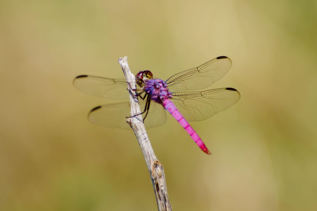 Pink roseate skimmer, a dragonfly