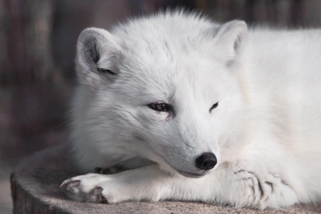 White Artic fox