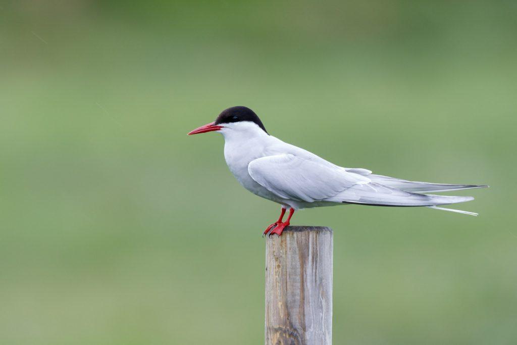 White Artic tern