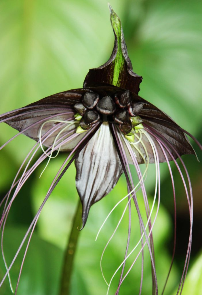Black Bat orchid