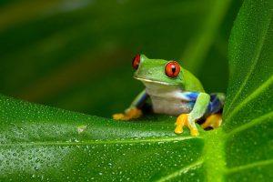 Red-eyed Amazon tree frog