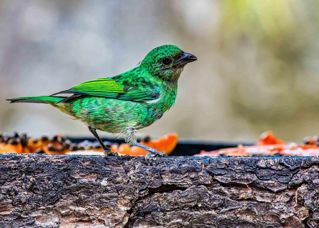 Tangara bird