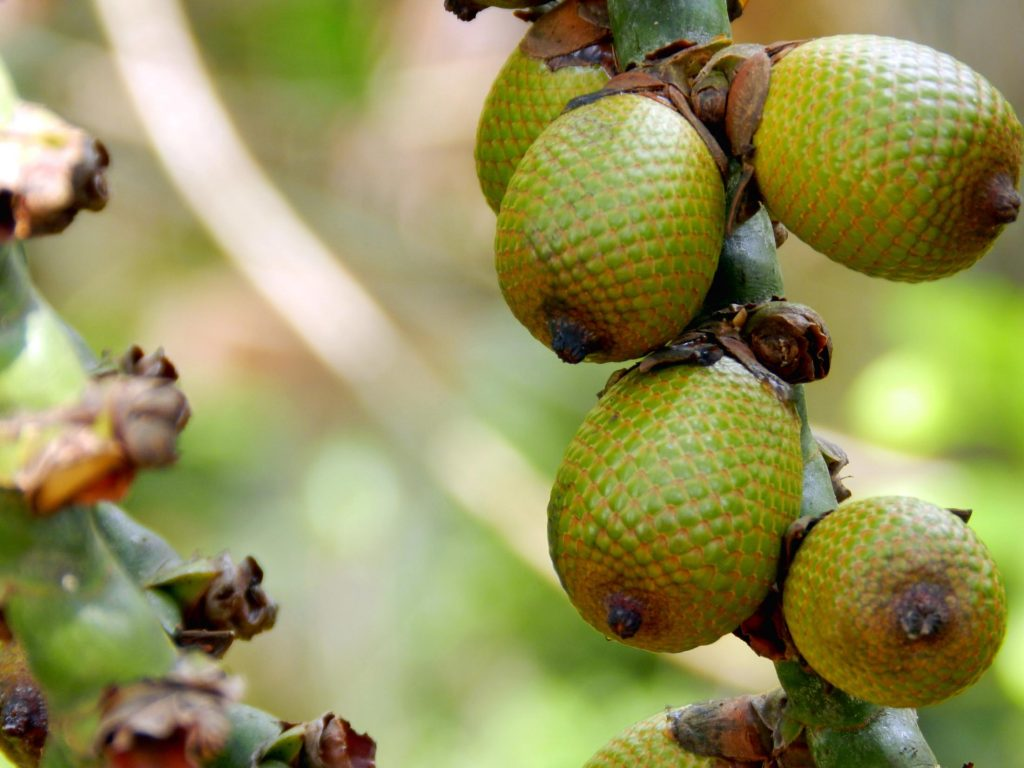 Buriti fruit