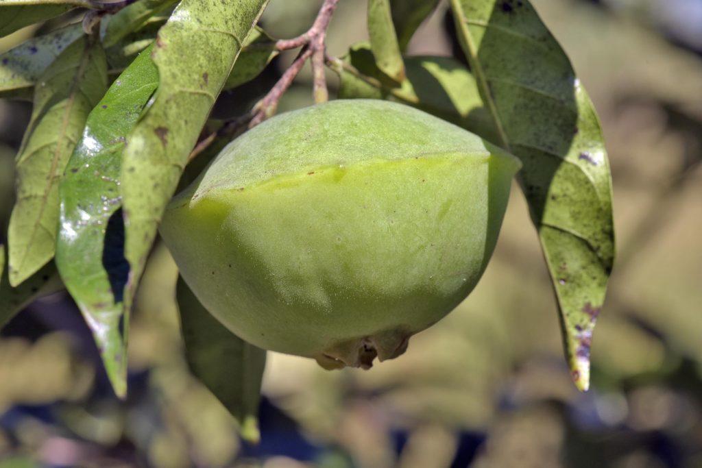 Cambuci fruit