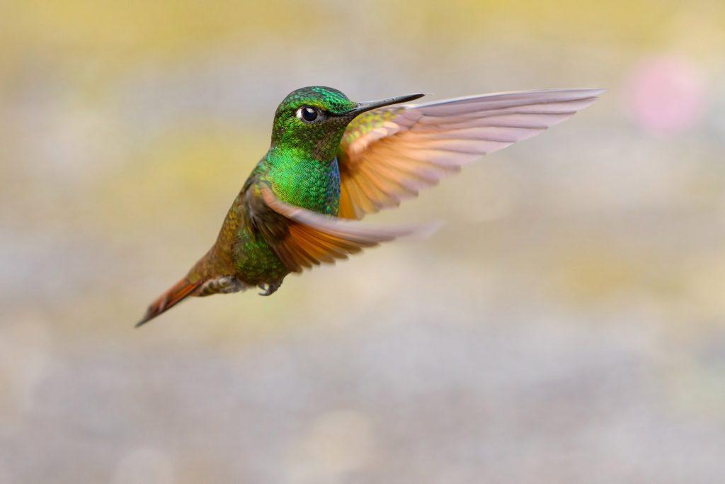 Brazilian Ruby hummingbird