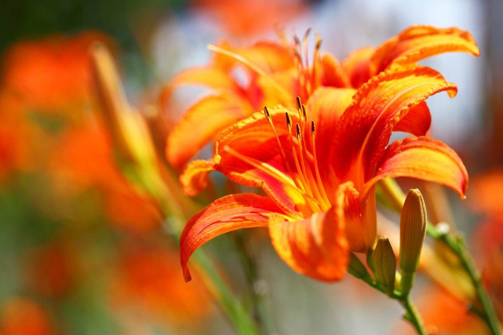 Orange lilly flower