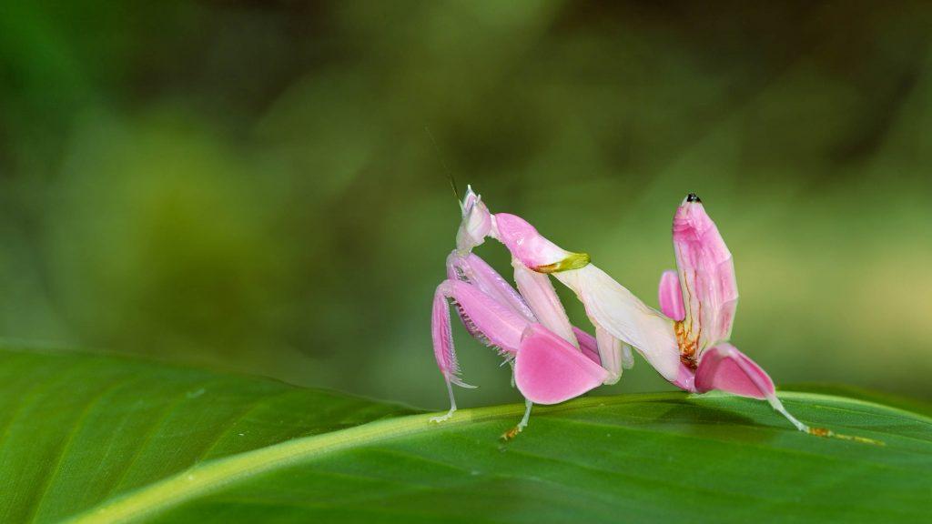 Pink orchid mantis grasshopper