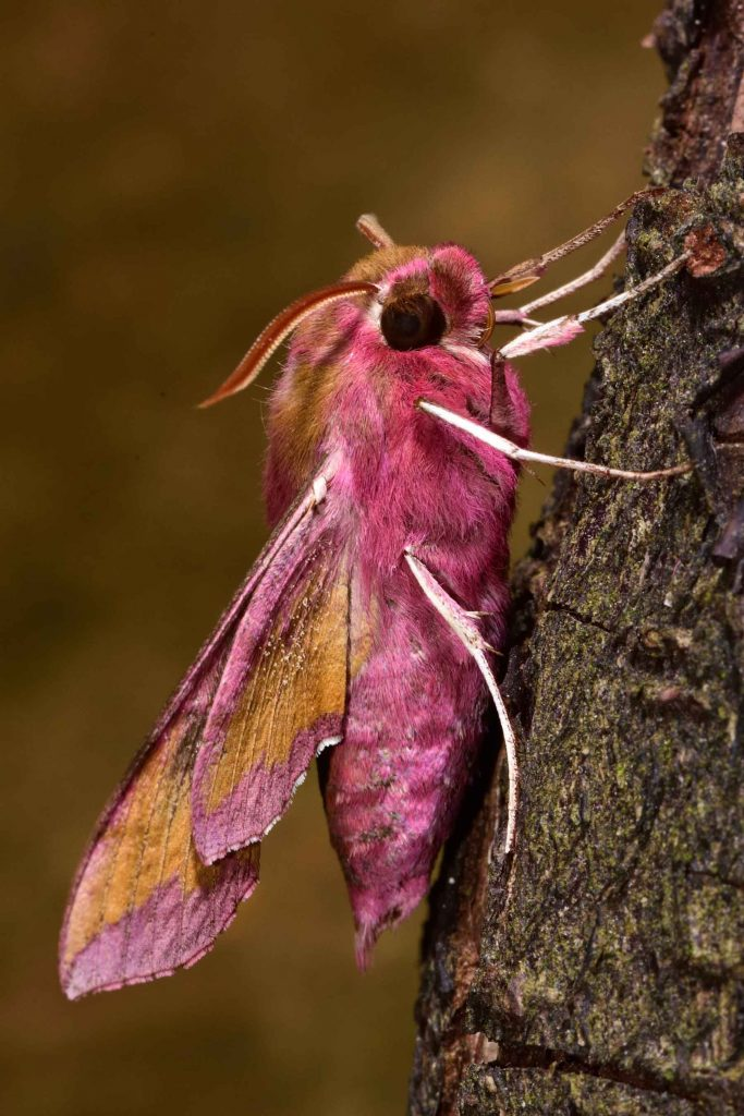 Pink small elephant hawk-moth