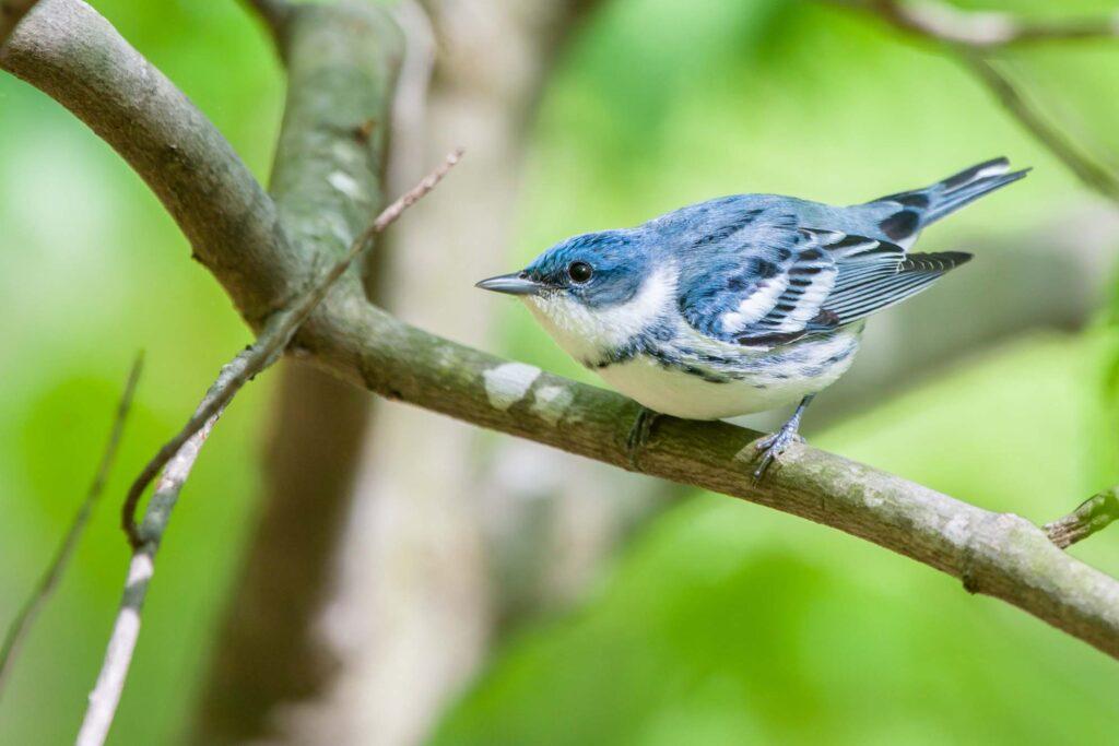 Blue Cerulean Warbler