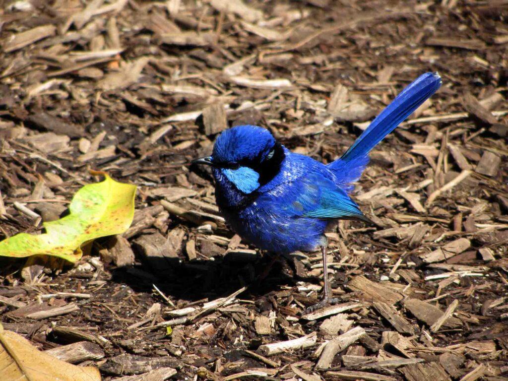 Blue splendid fairy wren