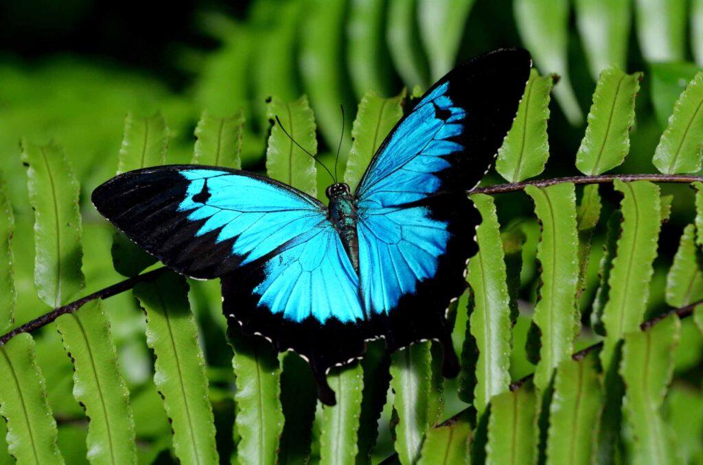 Blue Ulysses swallowtail butterfly