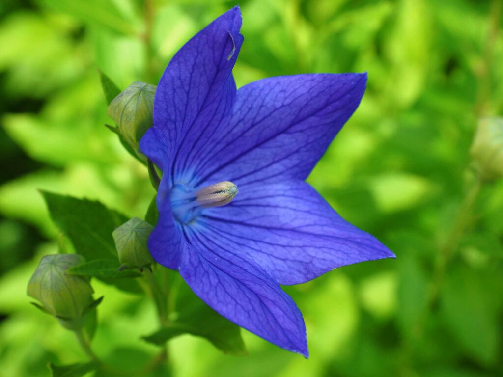 Blue balloon flower