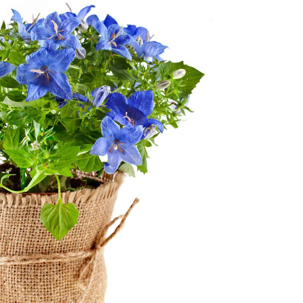 Blue campanula bellflower