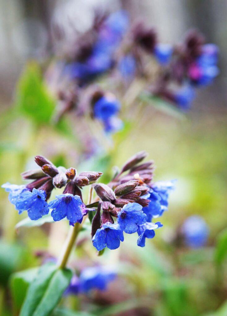 Blue Lungwort flowers