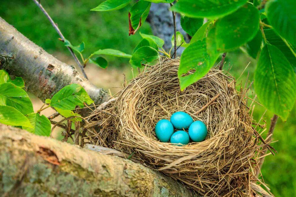 Blue Robin's eggs