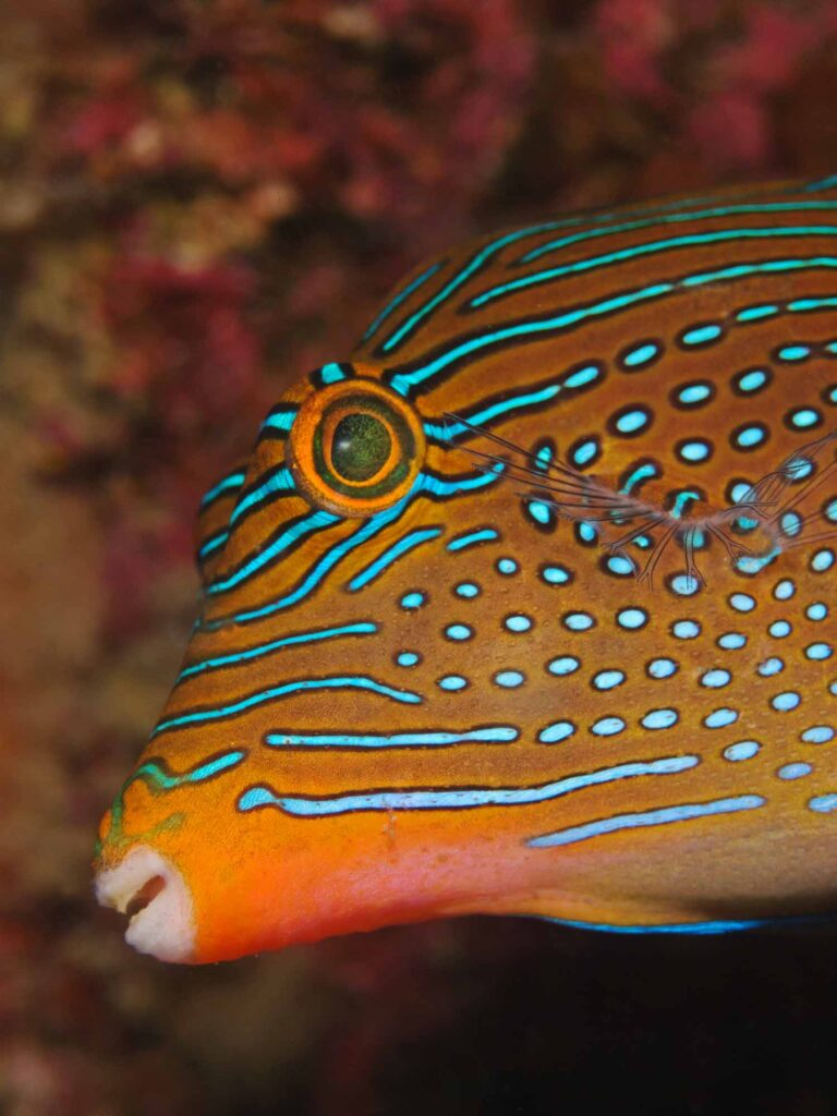 Blue spotted puffer fish