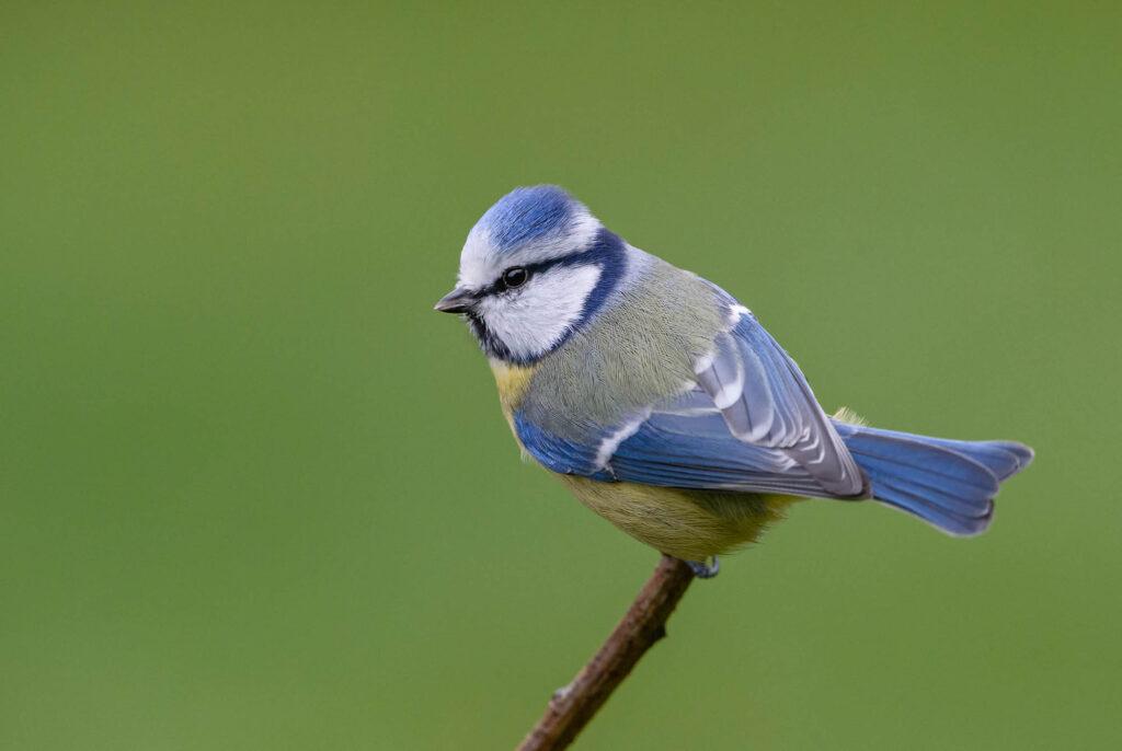 Blue Eurasian tit bird
