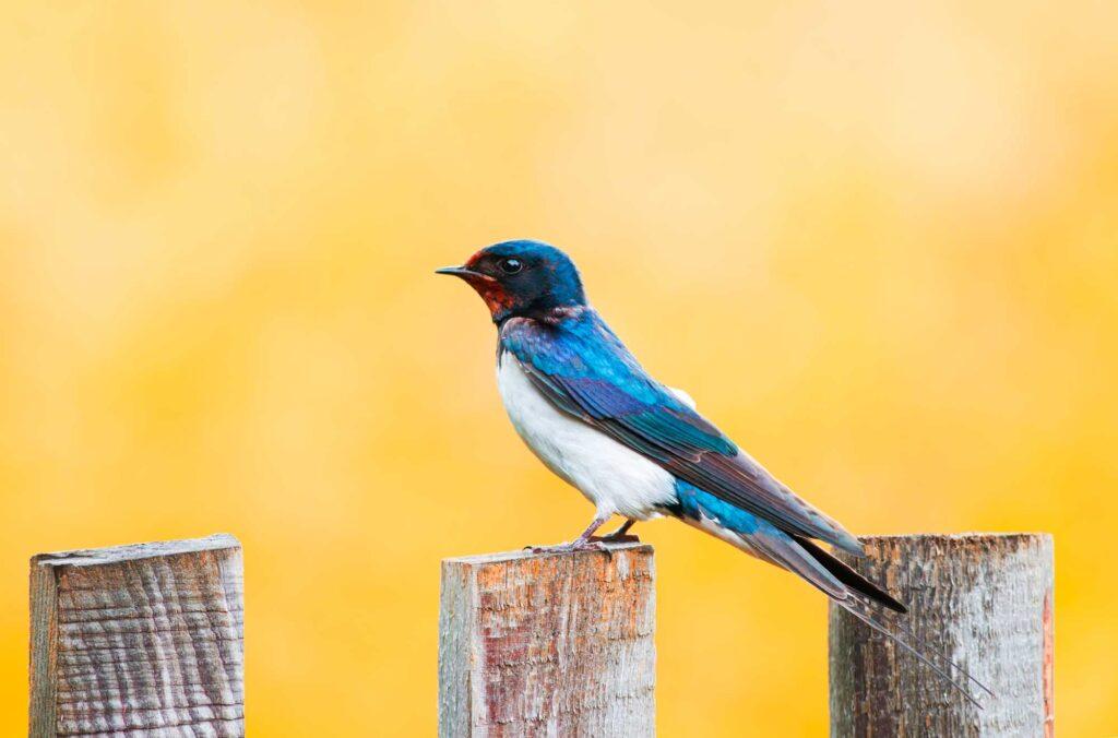 Blue tree swallow