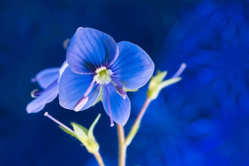 Blue Veronica Flower