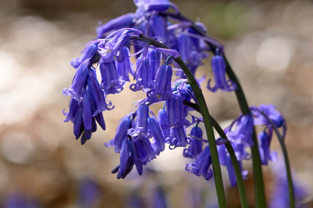 Blue common bluebells