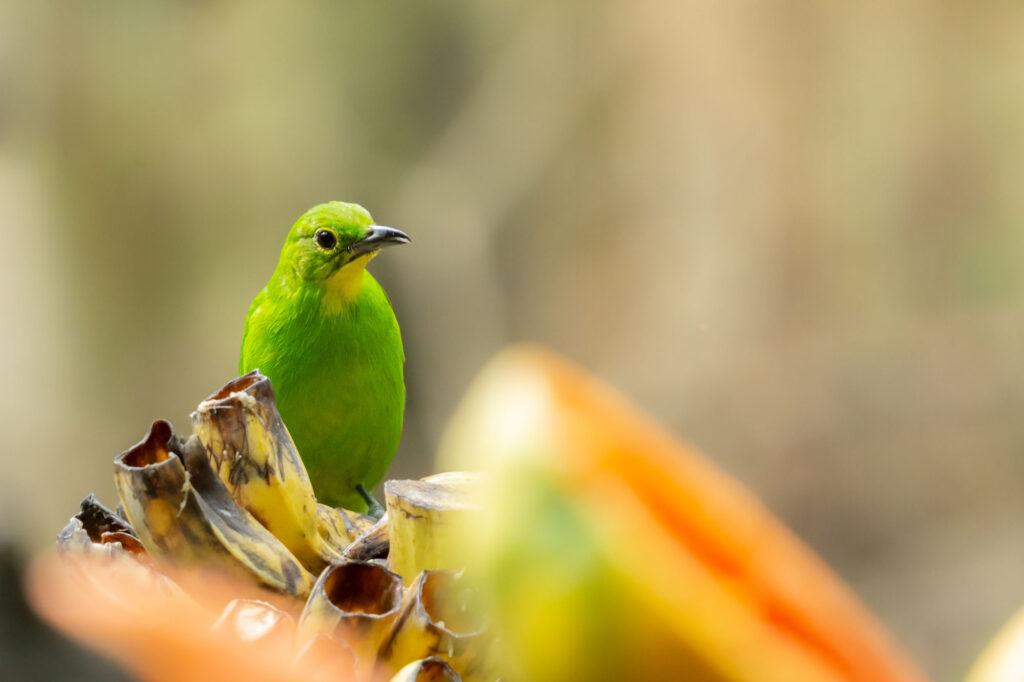 Green leafbird