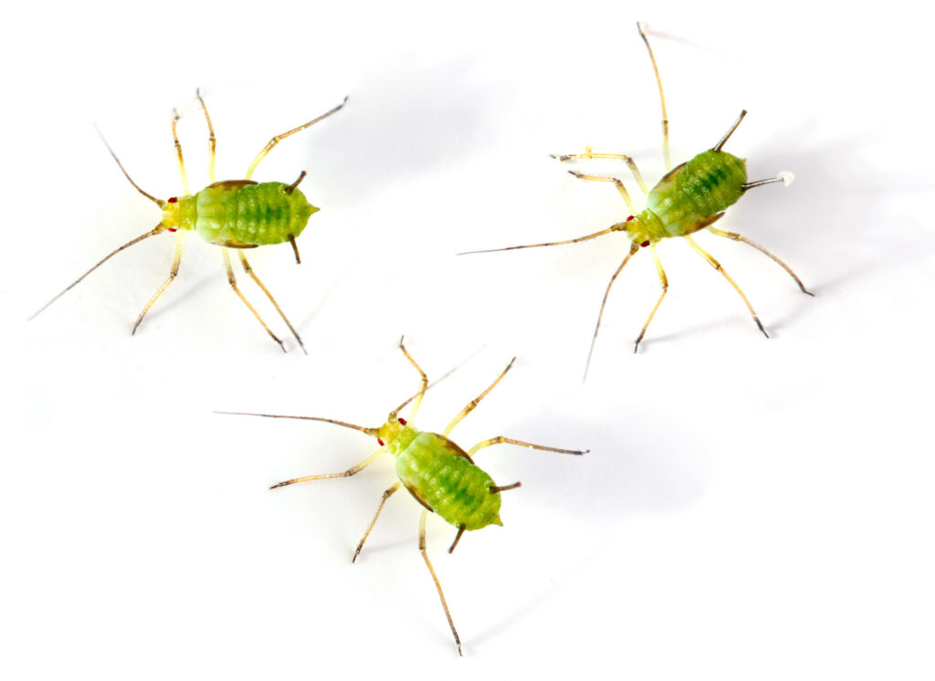 Green aphids