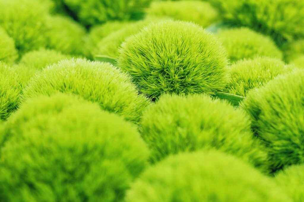 Green trick dianthus plant