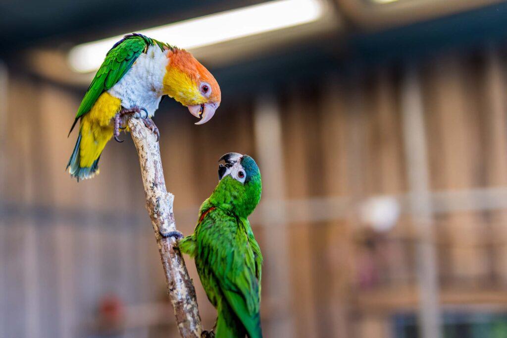 Green Carolina parakeets