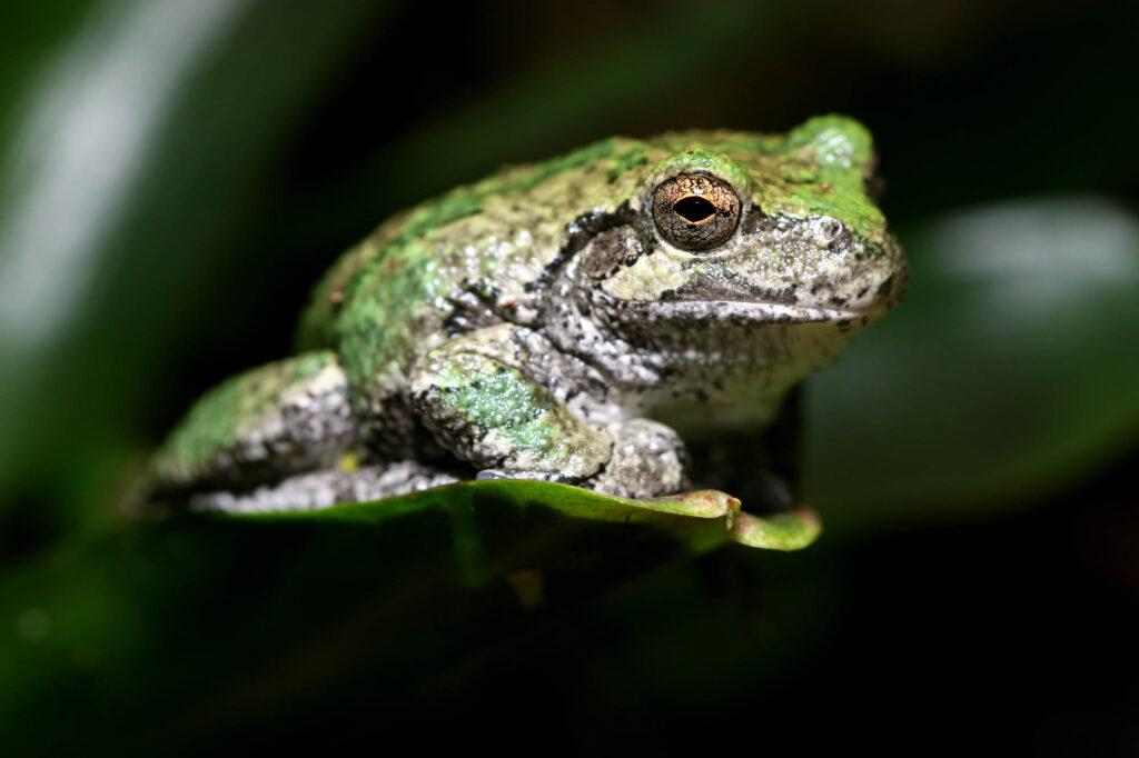 Green gray tree frog
