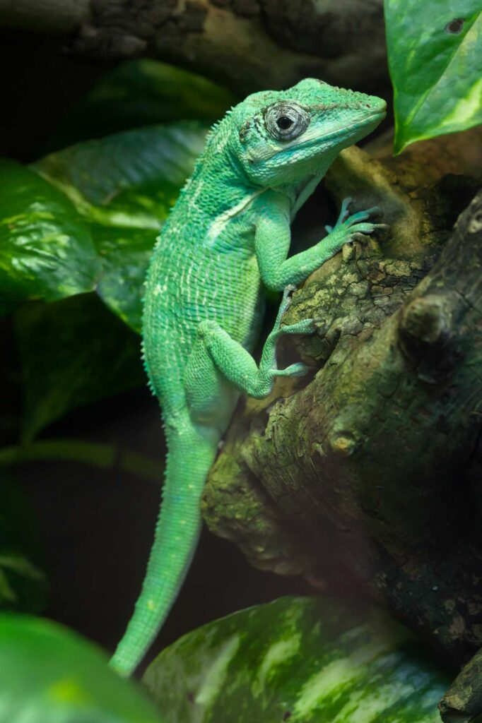 Green knight anole