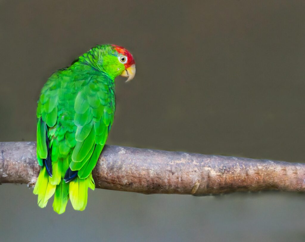Green Red-crowned Amazon parrot