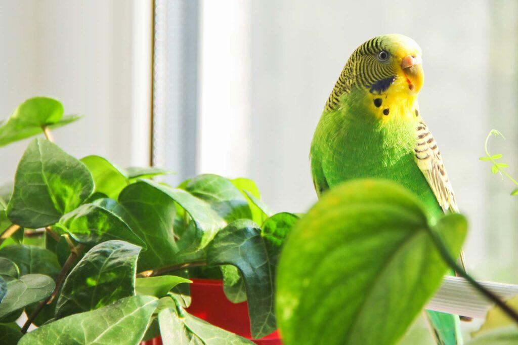 Green budgerigar