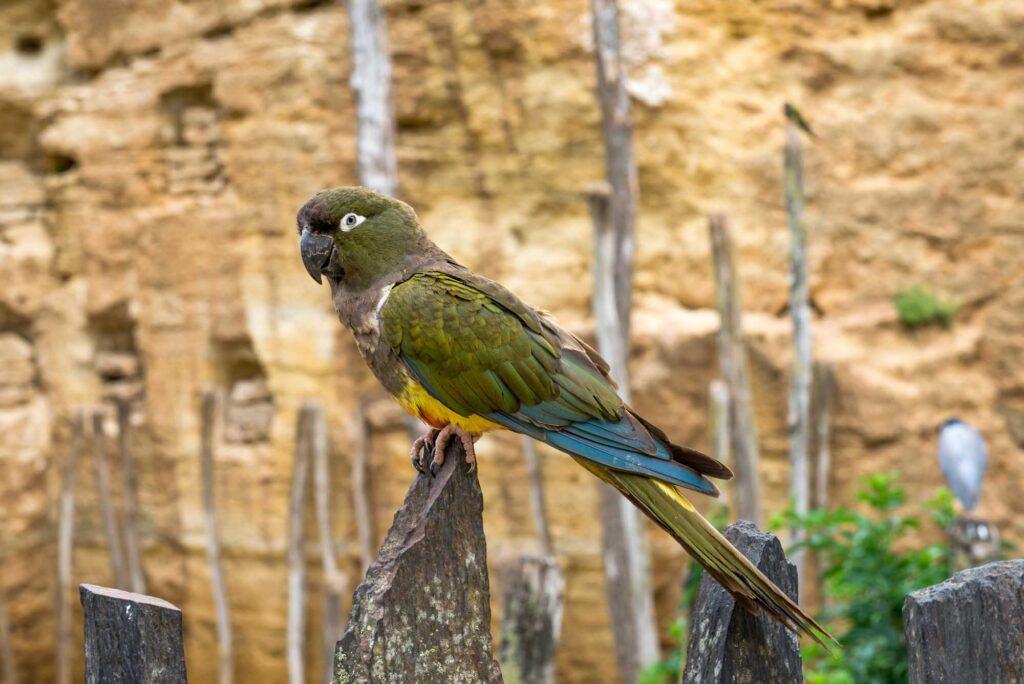 Green kakapo parrot