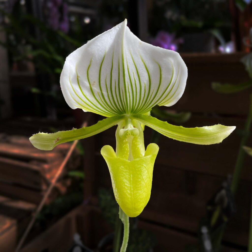 Green Lady's slipper orchid