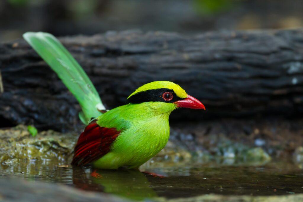 Green magpie bird