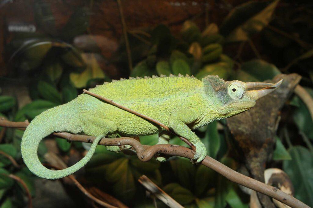 Green mountain chameleon