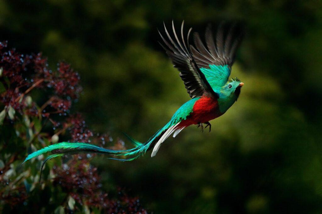 Green Resplendent Quetzal