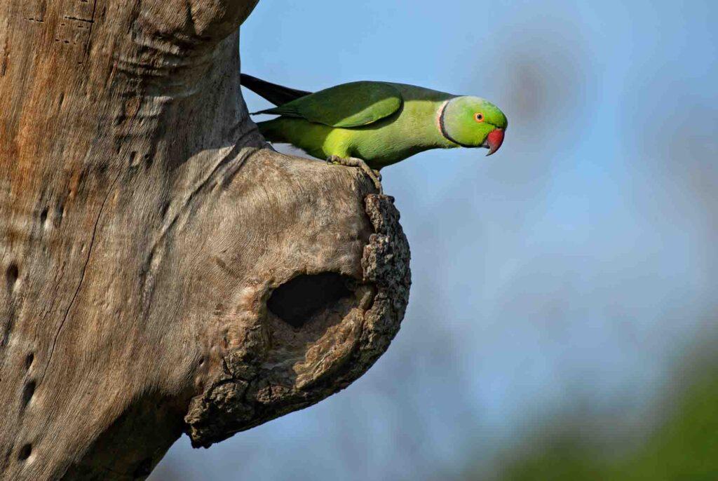 Green rose-ringed parakeet