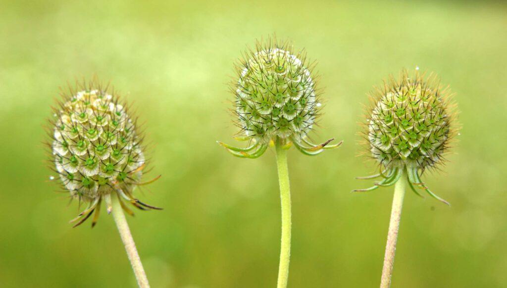 Green scabiosa flower