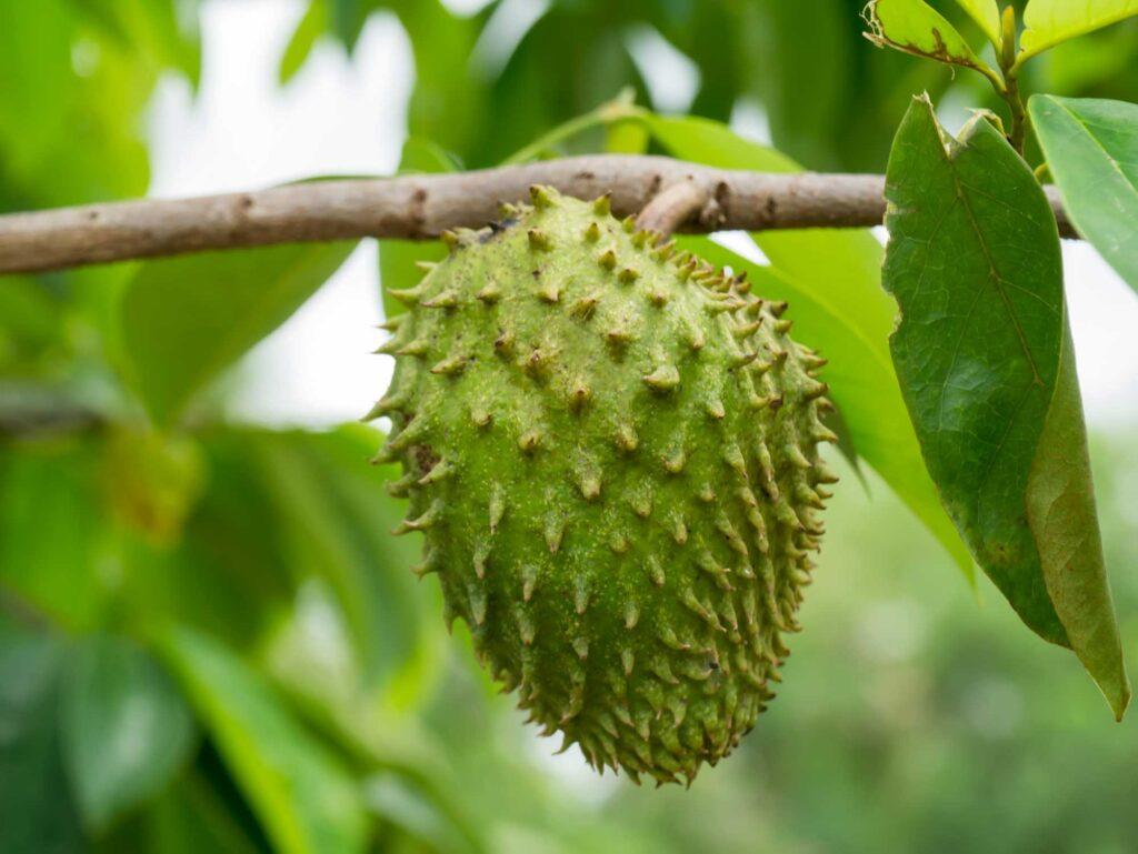 Green soursop fruit