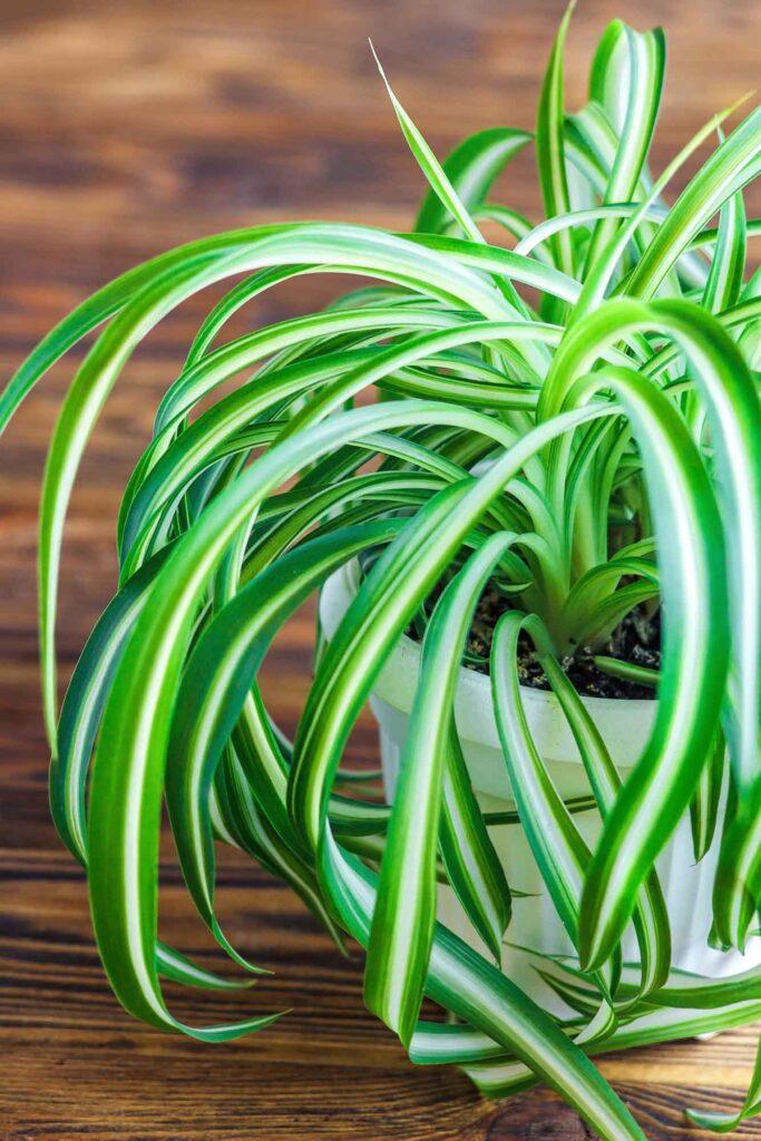 Green spider plant
